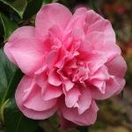 Camellia japonica 'Fortune Teller'