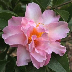Camellia x williamsii 'Free Style'