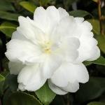 Camellia sasanqua 'Fuji-no-mine'
