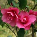 Camellia 'Gay Baby'