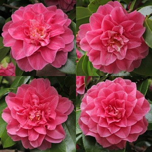 Camellia japonica 'General George Patton'