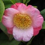 Camellia japonica 'Goshozakura'