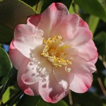 Camellia japonica 'Grace Bunton'