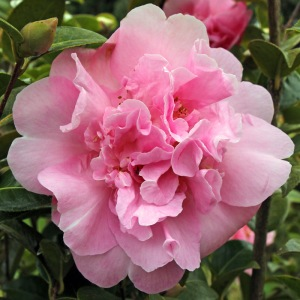 Camellia x williamsii 'Grand Jury'