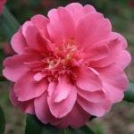 Camellia japonica 'Granite Dells'