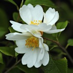 Camellia grijsii 'Zhenchucha'