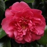 Camellia japonica 'Guest of Honour'