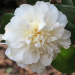 Camellia japonica 'Gus Menard'