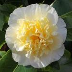 Camellia japonica 'Gwenneth Morey'