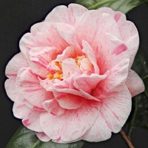 Camellia japonica 'Helenor'