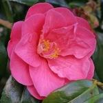 Camellia japonica 'High Wide'n Handsome'