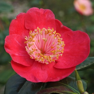 Camellia japonica 'Hinomaru'