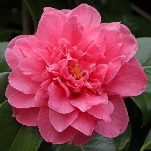 Caellia japonica 'Her Majesty Queen Elizabeth II'