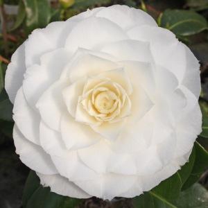 Camellia japonica 'Honeyglow'