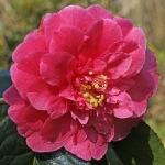 Camellia 'Howard Asper'
