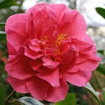 Camellia 'Innovation'