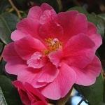 Camellia 'Inspiration'
