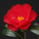 Camellia x williamsii 'Jamie'
