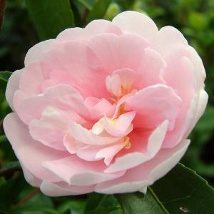 Camellia sasanqua 'Jean May'