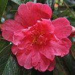 Camellia japonica 'Jessie Katz'