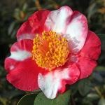 Camellia 'Jitsugetsusei'