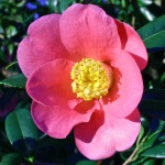 Camellia x williamsii 'John Pickthorn'