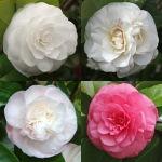 Camellia japonica 'Jovey Carlyon'