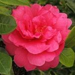 Camellia japonica 'Jules Verne'