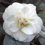 Camellia japonica 'Julia Dial'
