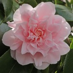 Camellia japonica 'Kay Truesdale'