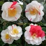 Camellia japonica 'Kokinran'