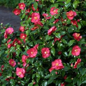Camellia japonica 'Lady de Saumarez'