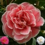 Camellia japonica 'Lady Loch'