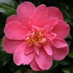 Camellia japonica 'Lady Macon'