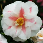Camellia japonica 'Lady McCulloch'