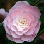 Camellia japonica 'Lady St. Clair.