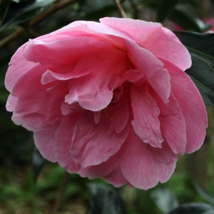 Camellia x williamsii 'Lady's Maid'