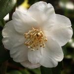 Camellia 'Lammertsii'