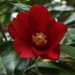 Camellia japonica 'Lanarth'