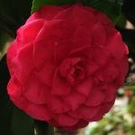 Camellia japonica 'Lavinia Maggi Rosea'
