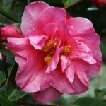 Camellia 'Leonard Messell'