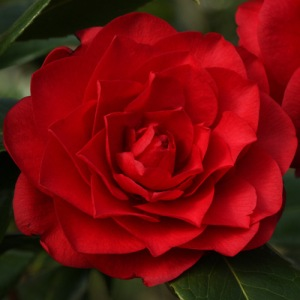 Camellia x williamsii 'Les Jury'