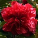 Camellia japonica 'Lily Morel'