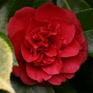 Camellia japonica 'Little Slam'