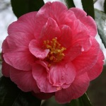 Camellia japonica 'Lucy Hester'