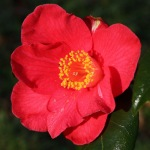 Camellia japonica 'Ludgvan Red'