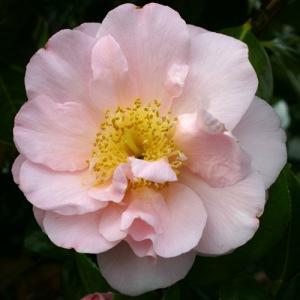 Camellia japonica 'Madame Hahn'