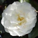 Camellia japonica 'Madge Miller'