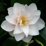 Camellia japonica 'Magnoliiflora'