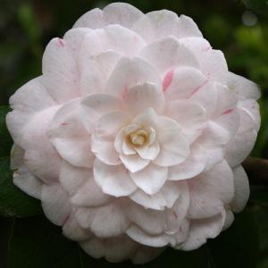 Camellia japonica 'Maiden's Blush'